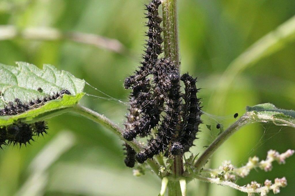 Черные гусеницы на крапиве – гусеницы бабочки дневной павлиний глаз (лат. Inachis io)
