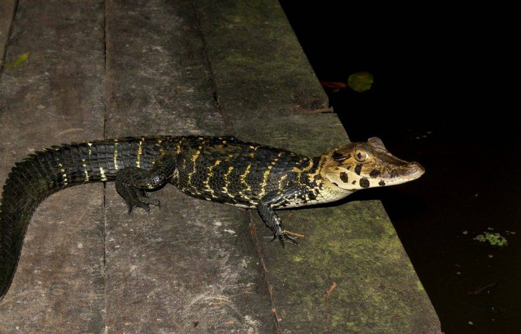 Черный кайман (лат. Melanosuchus niger)