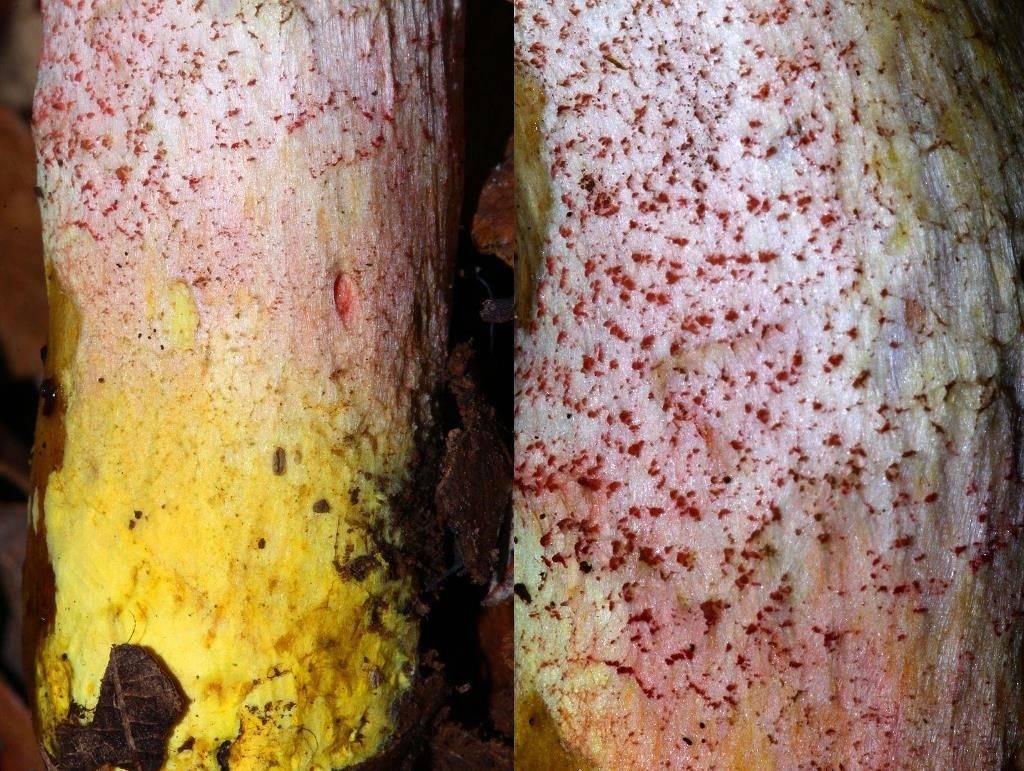Чешуйки и нижняя часть ножки подосиновика окрашенноногого