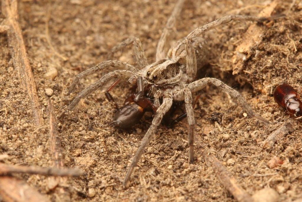 Что едят тарантулы