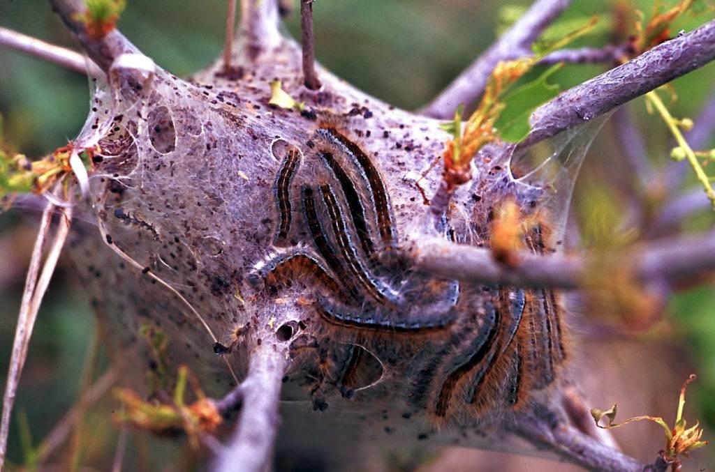 Шелковый домик гусениц Malacosoma californicum, где они прячутся от врагов и отдыхают во время линьки
