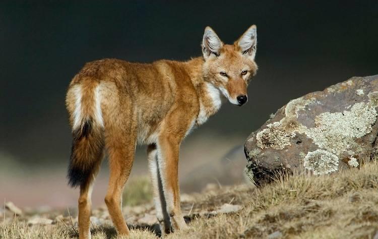 Эфиопский шакал, эфиопская лисица, сыменская лисица, эфиопский волк (лат. Canis simensis)