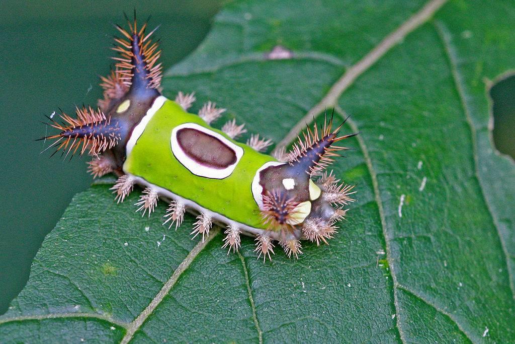 Ядовитая седлистая гусеница (лат. Sibine stimulea)