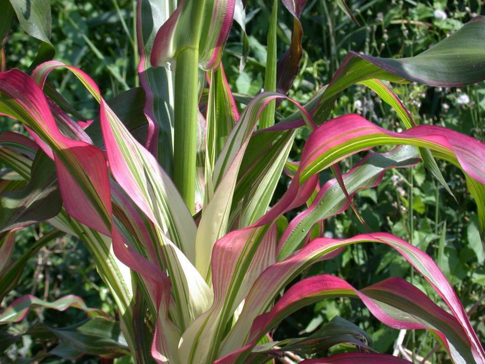 Японская кукуруза (лат. Zea mays japonica)