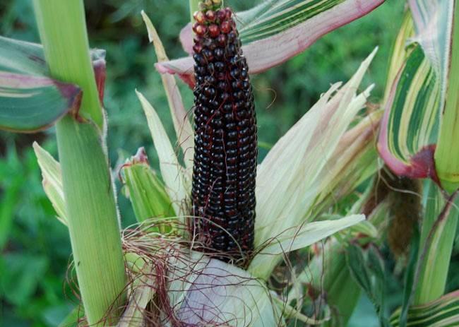 Японская кукуруза фото