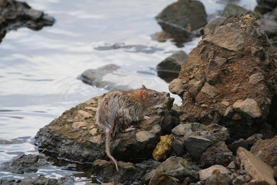 Где живут крысы фото
