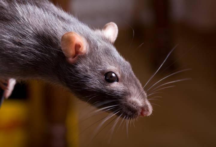 Глаза крысы фото
