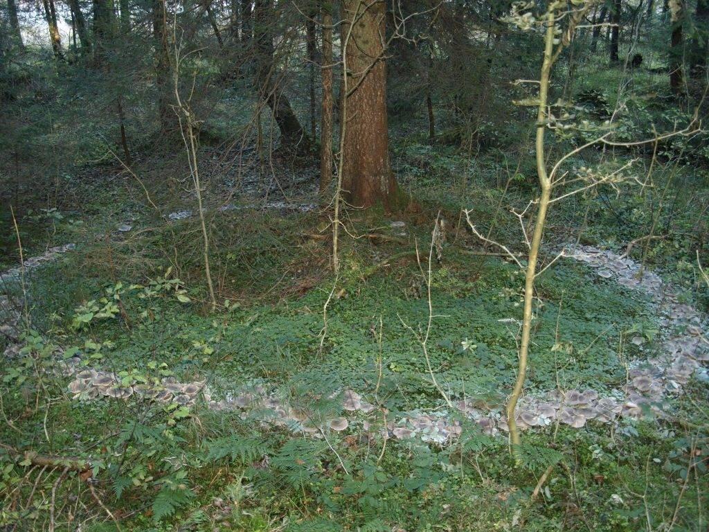Говорушки дымчатые в лесу
