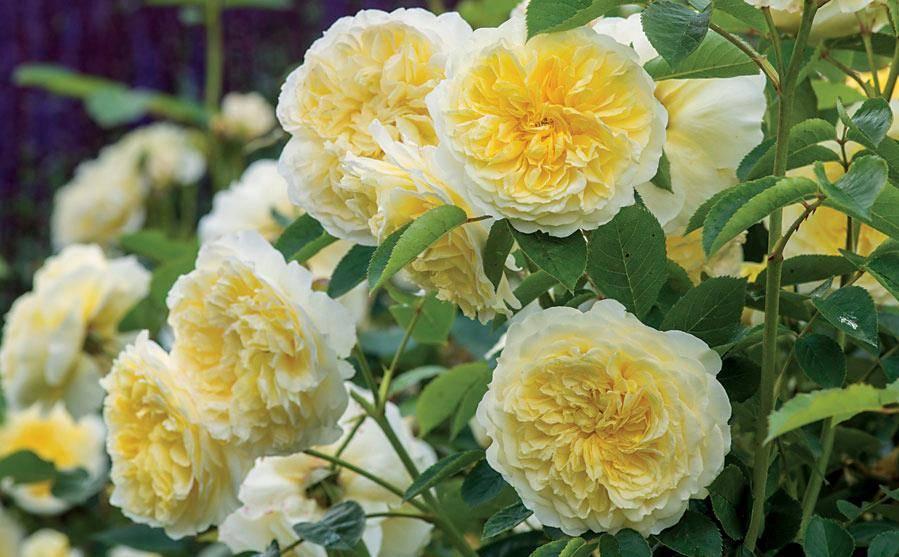 Двуцветные розы Pilgrim