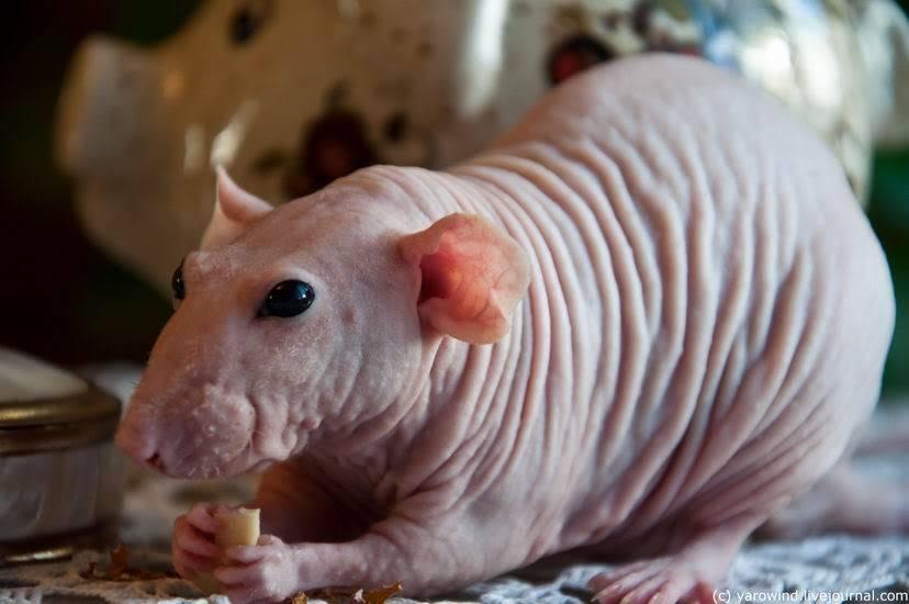 Декоративная крыса фото (вид - лысая крыса сфинкс)