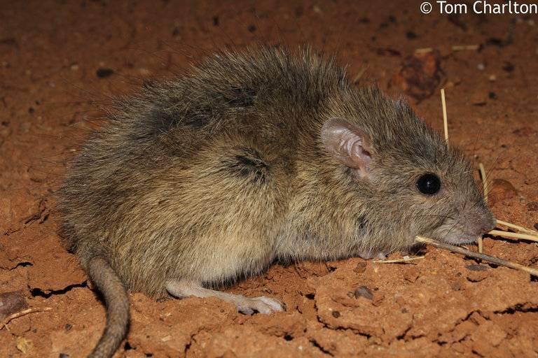 Длинноволосая крыса (лат. Rattus villosissimus)
