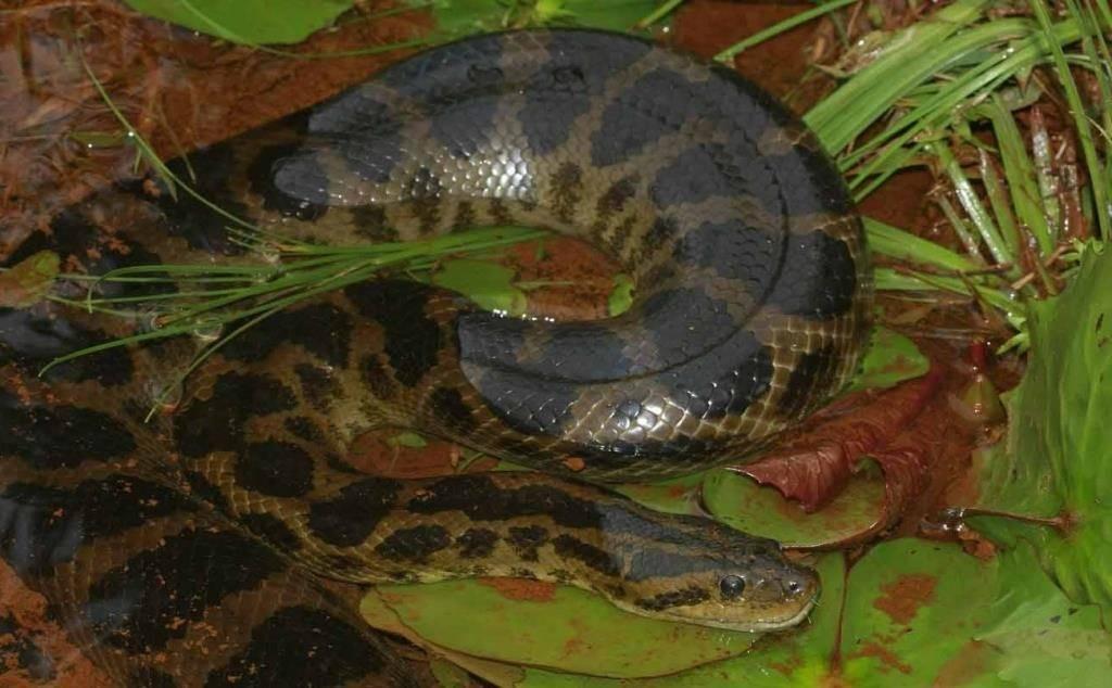 Змея анаконда Дешауенсея фото (лат. Eunectes deschauenseei)