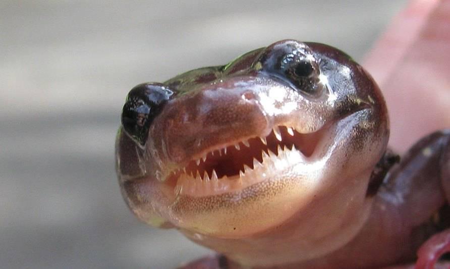 Зубы древесной саламандры