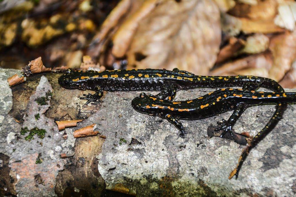 Кавказские саламандры фото