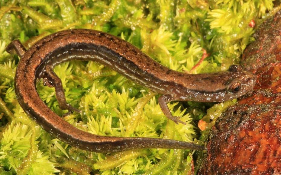 Карликовая саламандра фото (лат. Eurycea quadridigitata)