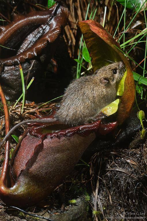 Кинабулийская крыса (лат. Rattus baluensis)