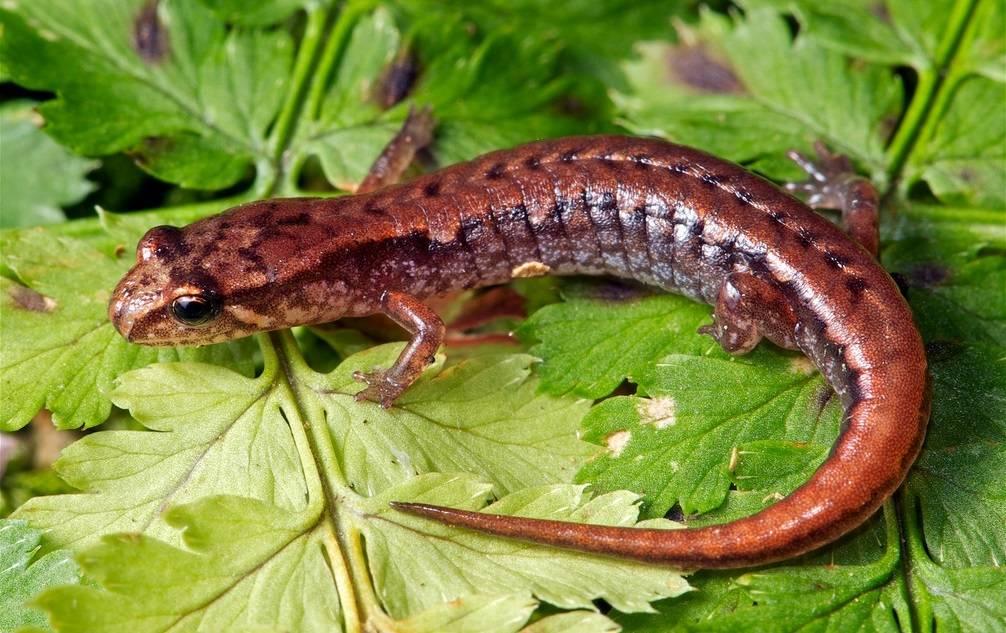 Крохотная саламандра фото (лат. Desmognathus wrighti)