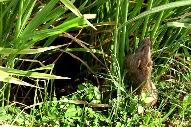 Крыса серебристобрюхая (лат. Rattus argentiventer)