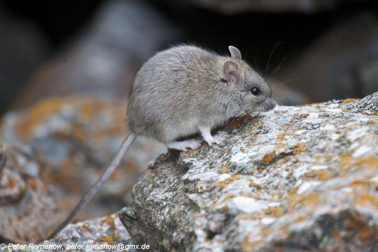 Крыса туркестанская (лат. Rattus pyctoris, ранее Rattus turkestanicus)
