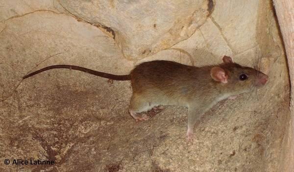 Крыса Rattus andamanensis