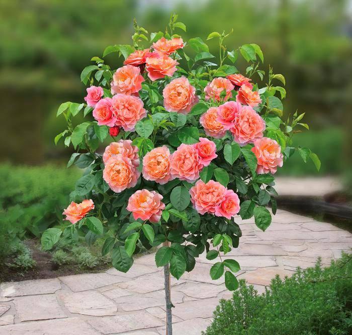 Куст розы Marie Curie