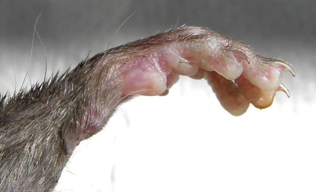 Лапа крысы фото (вид - черная крыса)