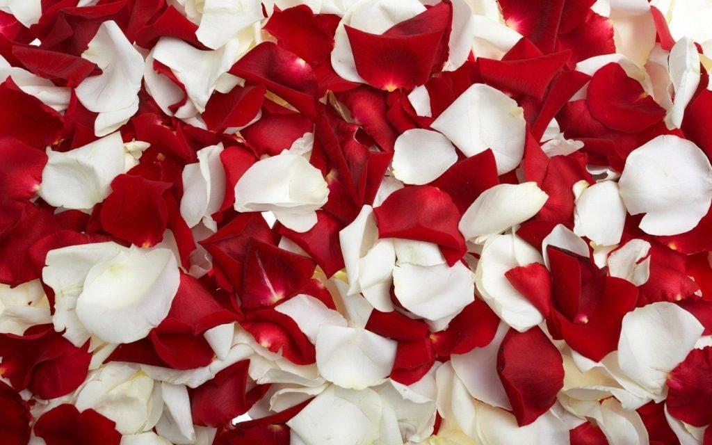 Лепестки розы фото