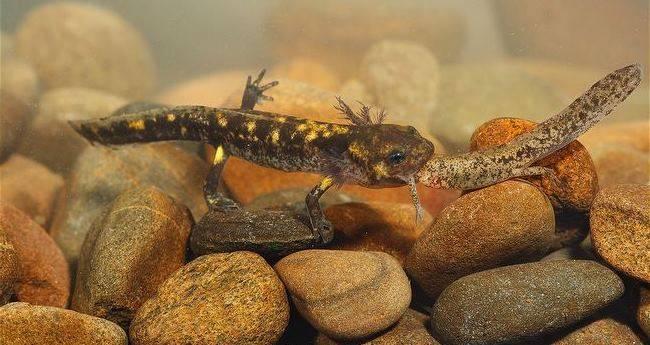 Личинка саламандры ест другую личинку фото