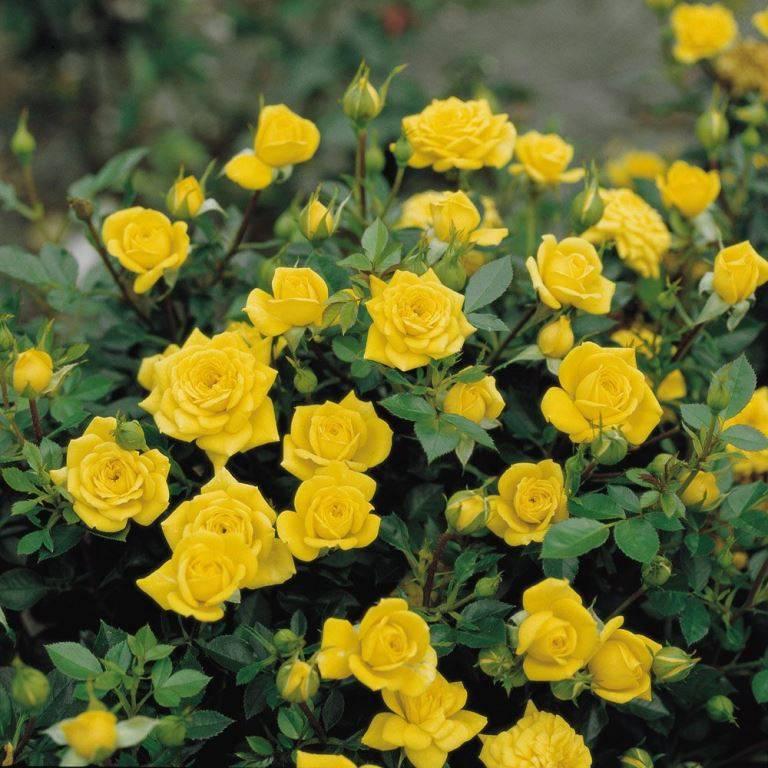 Миниатюрные розы Goldjuwel (Голджувел)