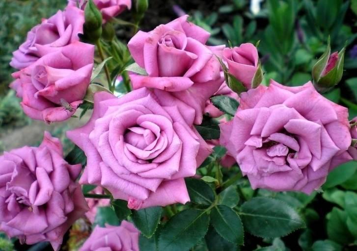 Миниатюрные розы Lavender Meillandina (Лавендер Мейландина)