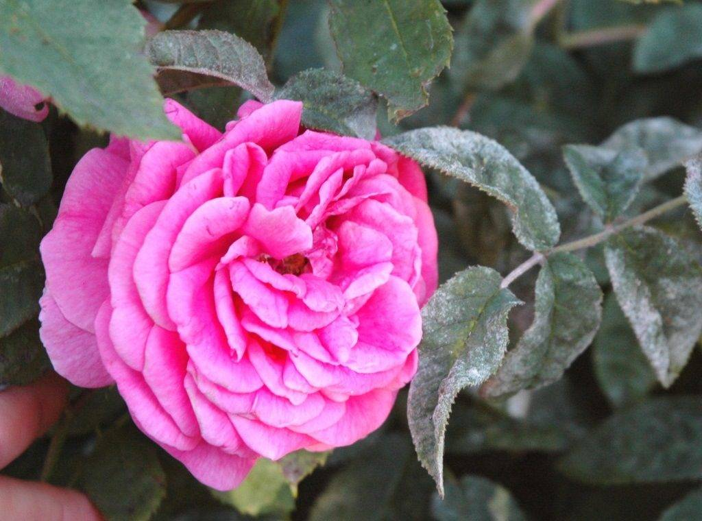 Мучнистая роса на розах фото