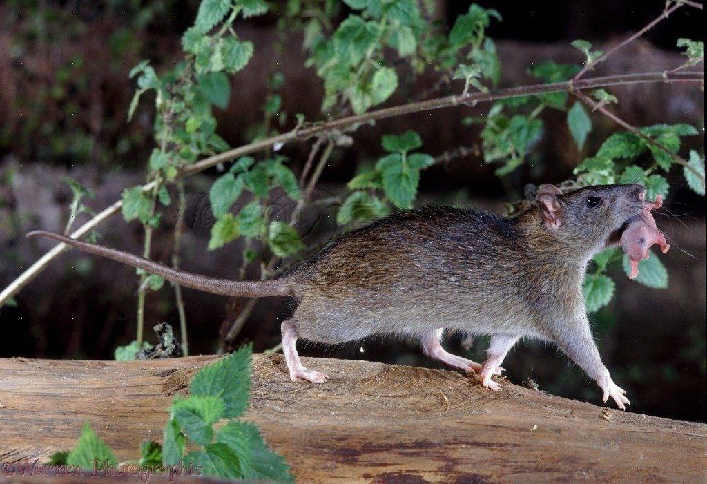 Новорожденный крысенок и самка крысы фото