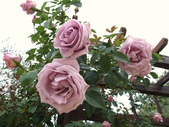 Плетистая роза Indigoletta (Индиголетта)