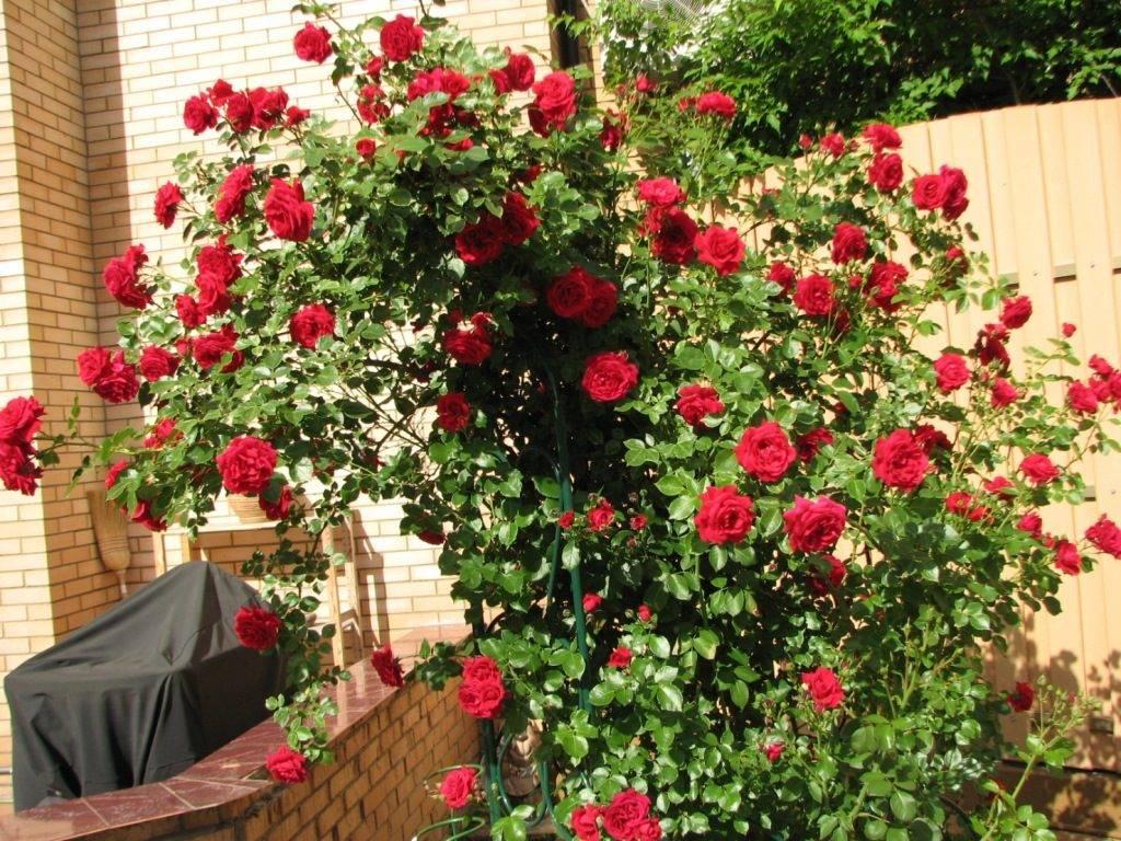 Плетистые розы Sympathie (Симпатия)