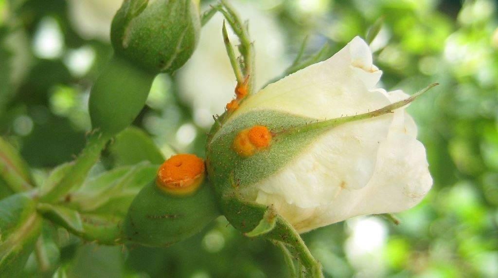 Ржавчина на розах фото