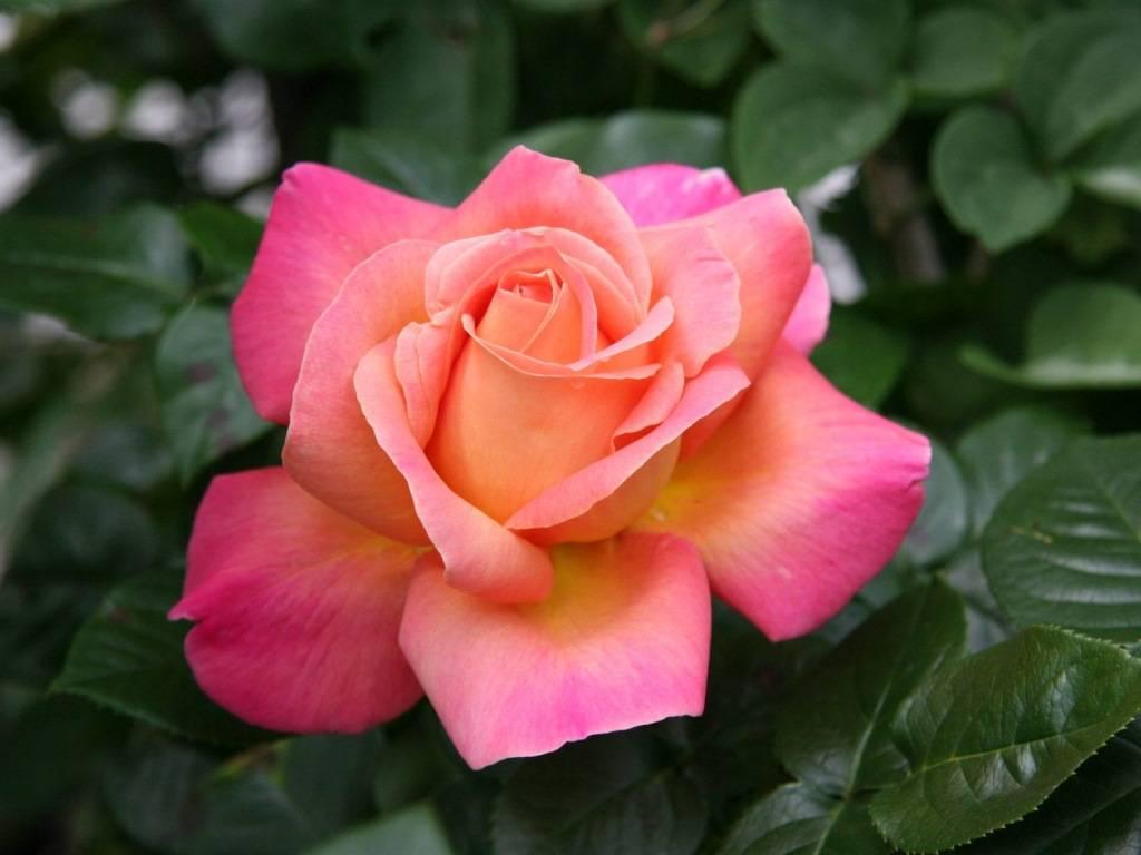 роза фото цветы описание двухэтажное