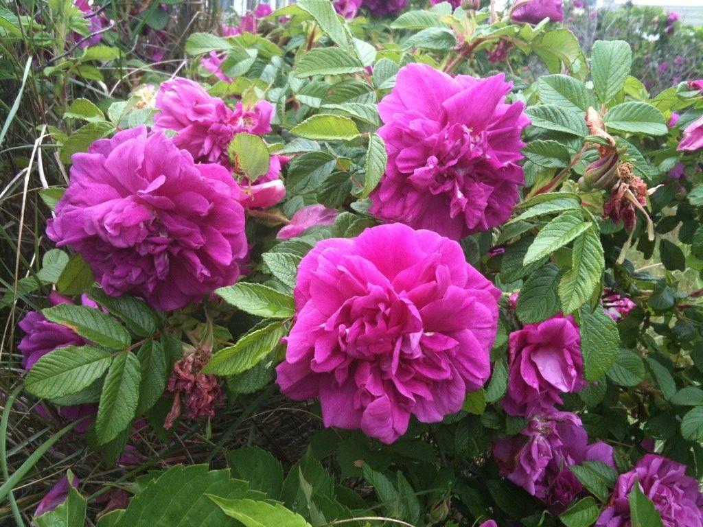 Роза Ругоза сорт Царица Севера фото