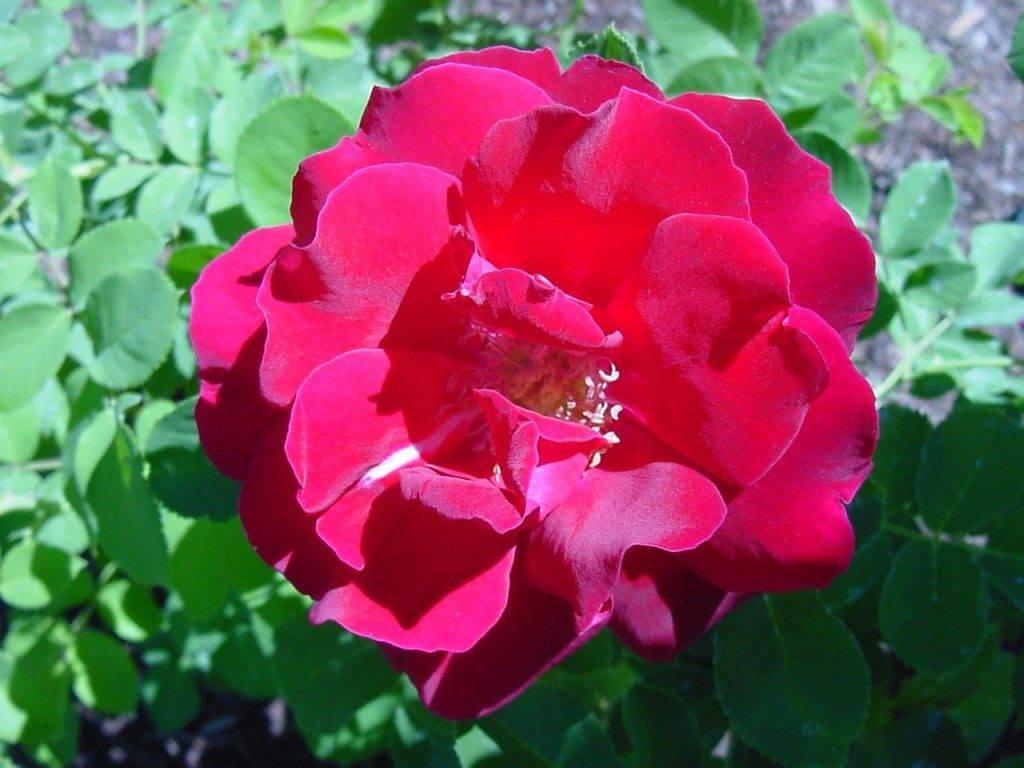 Роза класса шраб Cuthbert Grant (Катберт Грант) фото