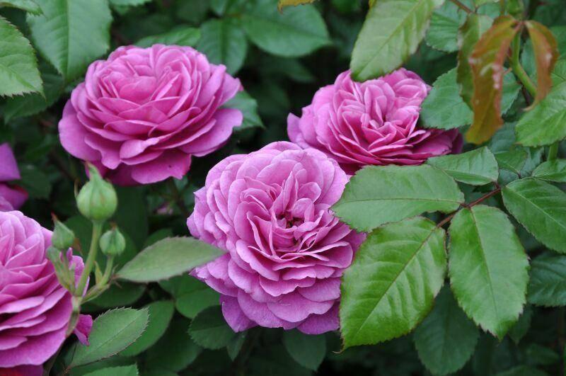 Роза патио сорт Heidi Klum (Хайди Клум)
