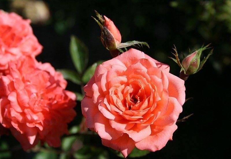 Роза патио Angela Rippon (Анжела Риппон)