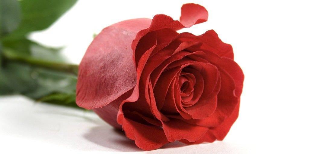Роза фото