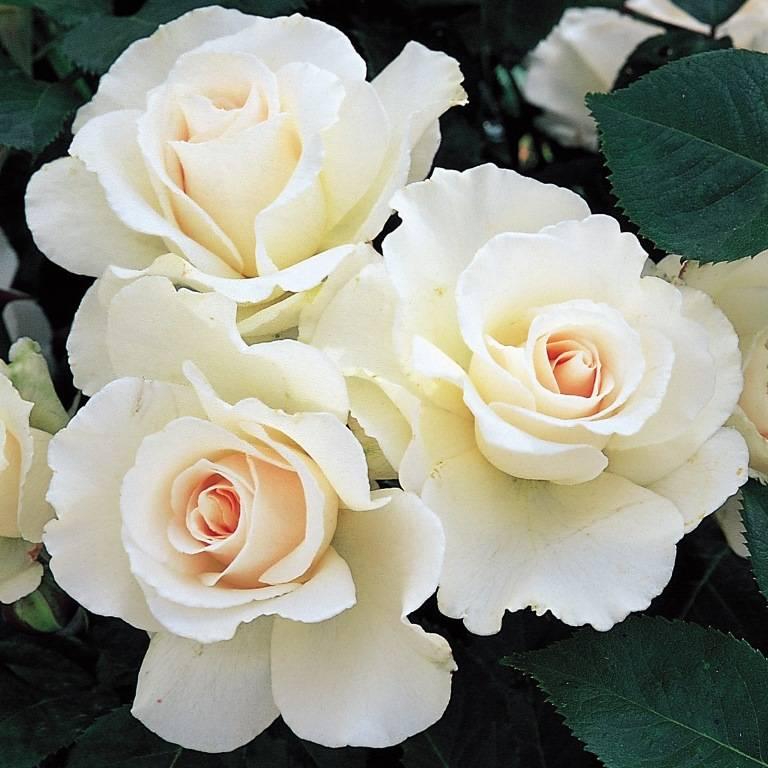 Розы Флорибунда сорт Маргарет Меррил (Margaret Merril) фото