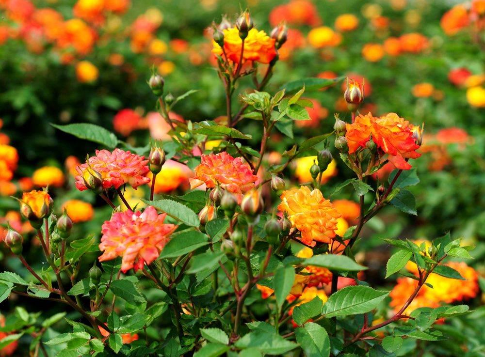 Розы сорта Sunmaid