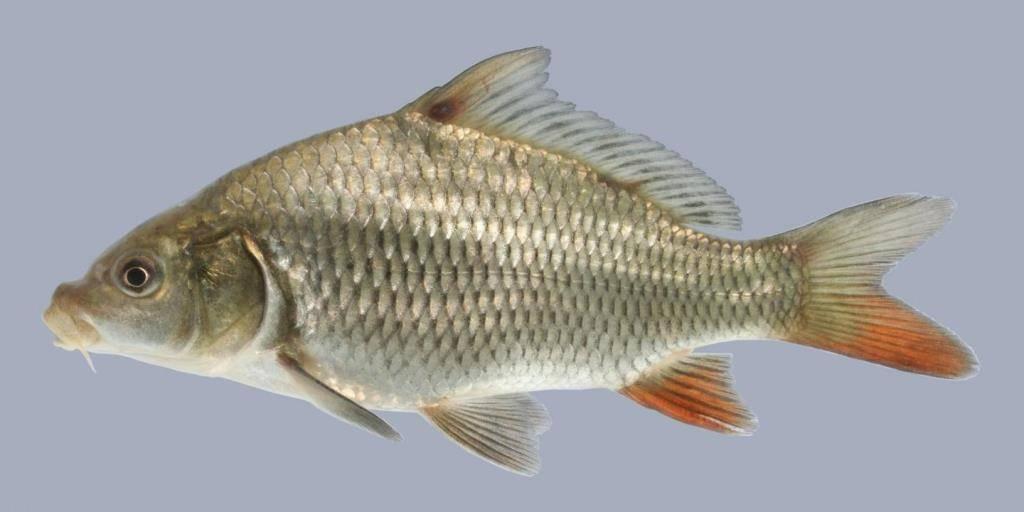 такими сазан фото рыба речная яичка мальчика как