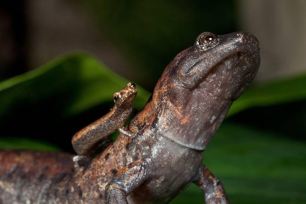 Саламандра животное фото (вид – медлительная саламандра)