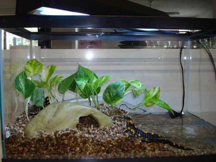 Содержание саламандры в домашних условиях