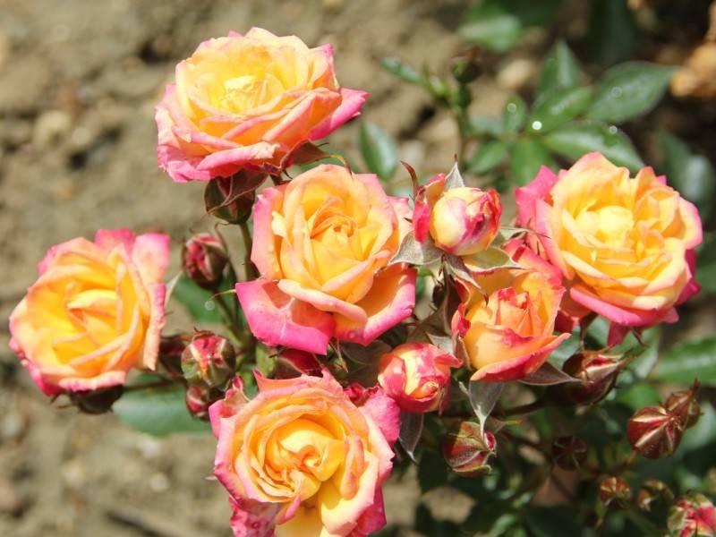 Сорт миниатюрных роз Little Sunset (Литтл Сансет)