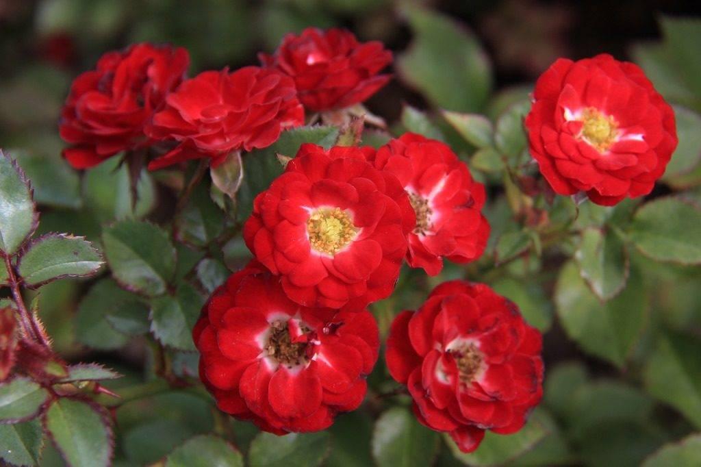 Сорт миниатюрных роз Mandy (Мэнди)