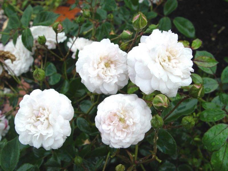 Сорт полиантовых роз Little White Pet (Литл Вайт Пет)