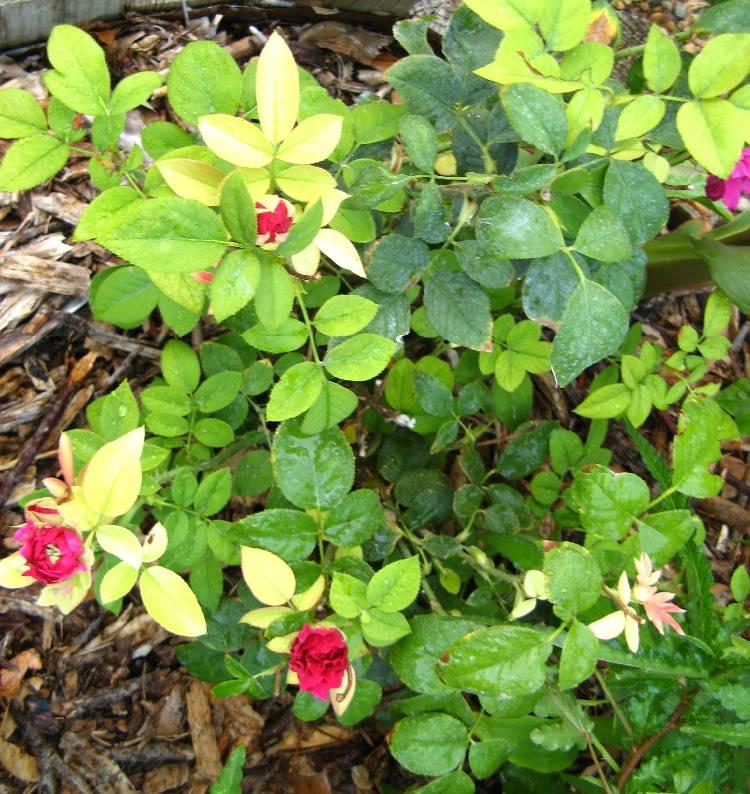 Хлороз роз фото